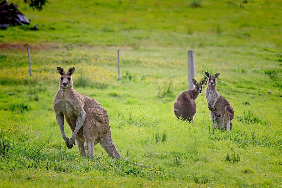 袋鼠岛相约澳洲国兽.jpg