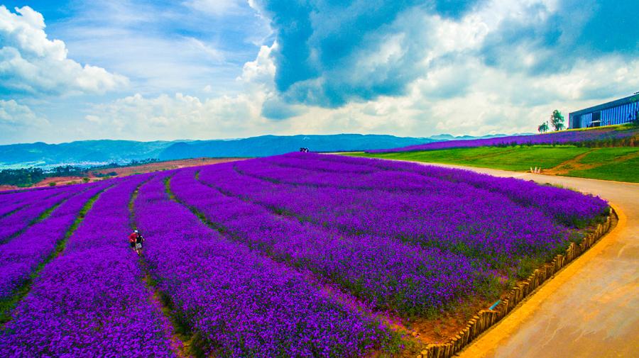 普罗旺斯的紫色浪漫.jpg