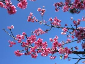 追赶樱前线,日本冲绳那霸樱花祭_2019樱前线_冲绳樱花祭