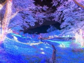 日本神奈川2500株相模湖樱花祭开始啦_日本樱花祭_日本旅游