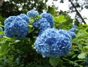 来日本遇见紫阳花之旅_日本旅游_日本自由行